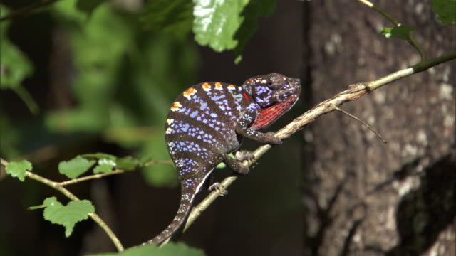 Female Labord's chameleon (Furcifer labordi) climbs along branch, Madagascar