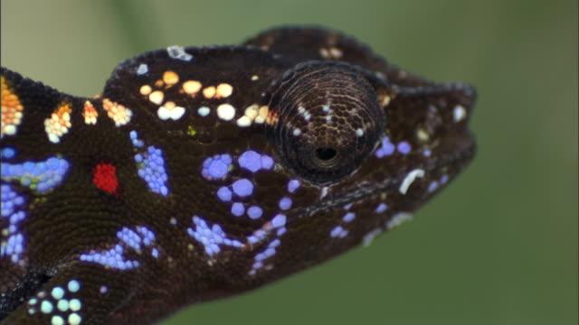 Female Labord's chameleon (Furcifer labordi) sways on branch, Madagascar