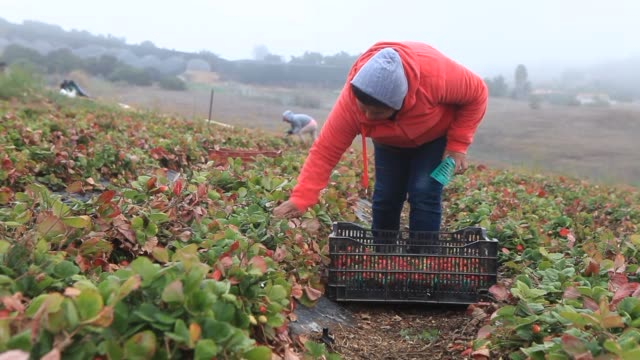 A female latino laborer picks strawberries at JR Organics Farm in Escondido California US on Thursday Jan 9 Wide shot of two latino female laborer...