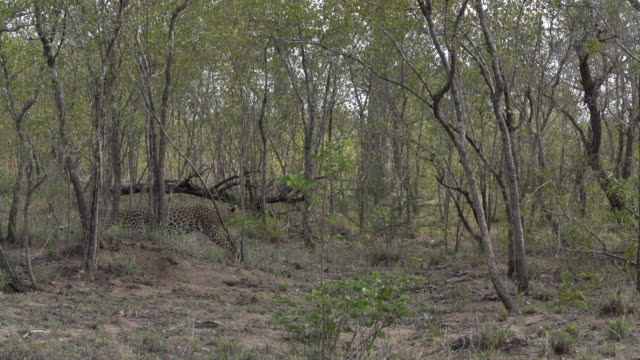 vídeos de stock, filmes e b-roll de female leopard chases warthog family and catches piglet in bushwillow thicket, kruger national park, south africa - javali africano