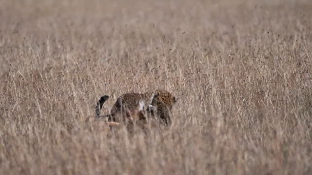 a female leopard dragging the kill across the grassland in masai mara national reserve - dragging stock videos & royalty-free footage