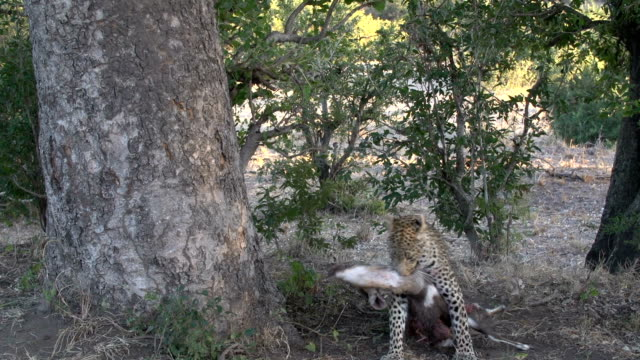 Female leopard drags bushbuck kill and hoists into sausage tree, Kruger National Park, South Africa