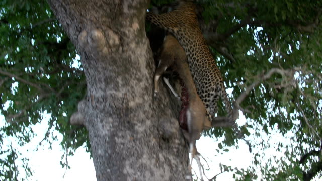 female leopard drags bushbuck kill and hoists into sausage tree, kruger national park, south africa - ヒョウ点の映像素材/bロール