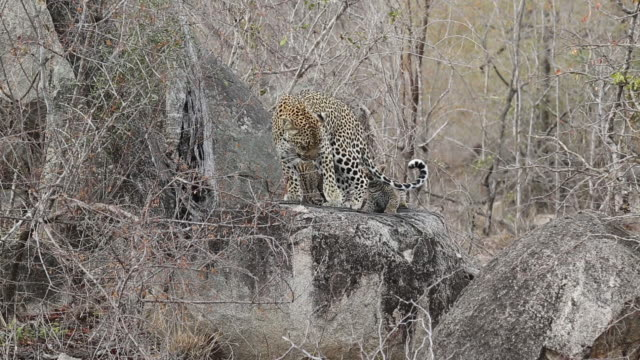 female leopard gets annoyed with two cubs and turns around snarling at them, kruger national park, south africa - small group of animals stock videos & royalty-free footage