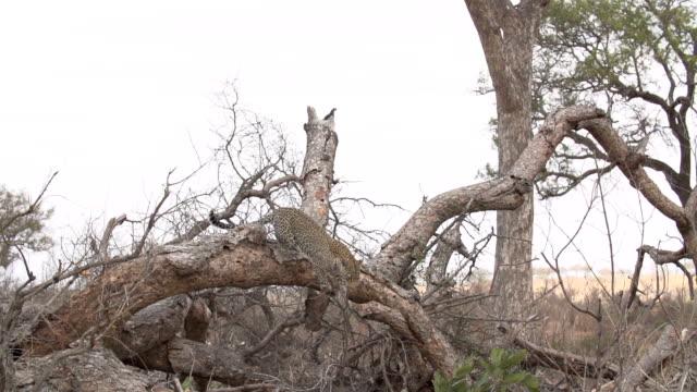 vídeos y material grabado en eventos de stock de female leopard leaps off fallen tree and trots out of frame in sparse vegetation, kruger national park, south africa - felino grande