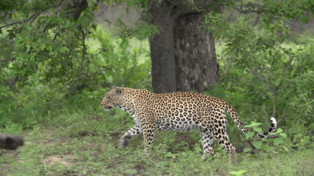 female leopard stands up and walks left with green background, kruger national park, south africa - brown stock videos & royalty-free footage