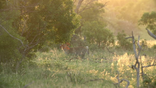 female leopard walking in green fields with midges in the air with golden backlighting, kruger national park, south africa - provinz mpumalanga stock-videos und b-roll-filmmaterial
