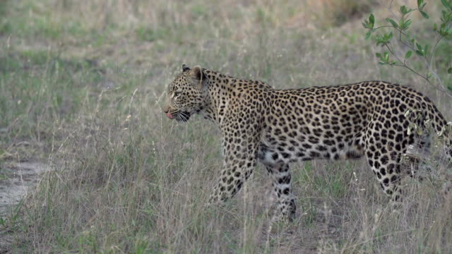 female leopard walks across clearing, kruger national park, south africa - mpumalanga province stock videos and b-roll footage