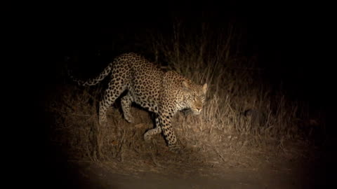 female leopard walks across open area in spotlight to right, kruger national park, south africa - leopard stock videos & royalty-free footage