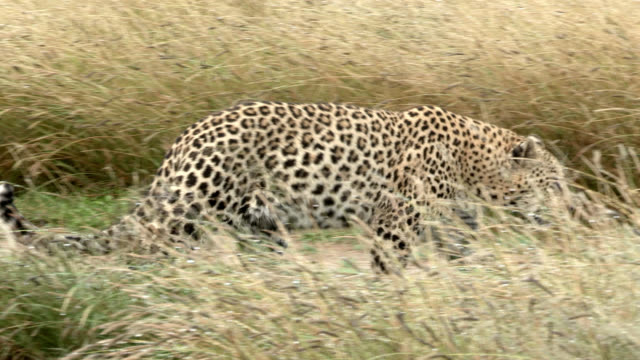 a female leopard walks and runs through her natural habitat. - ヒョウ点の映像素材/bロール