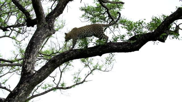 vídeos y material grabado en eventos de stock de female leopard walks down marula tree and leaps to ground, kruger national park, south africa - felino grande