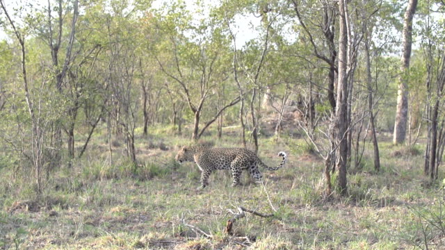 female leopard walks through bushwillow thickets, kruger national park, south africa - provinz mpumalanga stock-videos und b-roll-filmmaterial