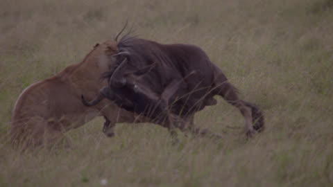 female lion (panthera leo) chases and catches wildebeest prey on savannah, kenya - catching stock videos & royalty-free footage
