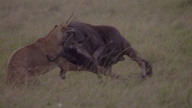 Female lion (Panthera leo) chases and catches wildebeest prey on savannah, Kenya