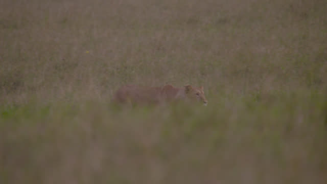 stockvideo's en b-roll-footage met female lion (panthera leo) chases prey on savannah, kenya - jagende dieren