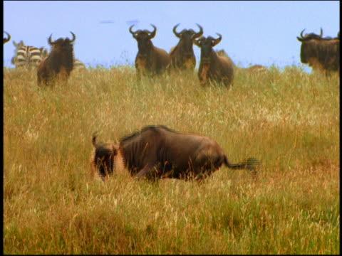 Female lion hanging on neck of struggling wildebeest on plain / other animals in background / Serengeti