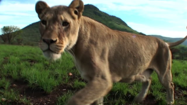 a female lion swats at the camera. - fly swat stock videos & royalty-free footage