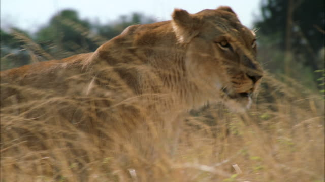 CU POV  Female lion  walking  through tall grass / Unspecified