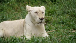 female lion white lying on the grass