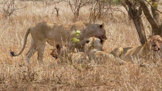 vídeos de stock e filmes b-roll de female lions fresh kill - leão