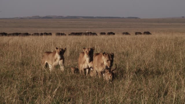 female lions (panthera leo) walk with cubs on savannah, kenya - pride stock videos & royalty-free footage