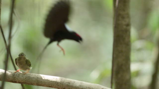 Female long tailed manakin (Chiroxiphia linearis) watches males perform courtship dance, Costa Rica