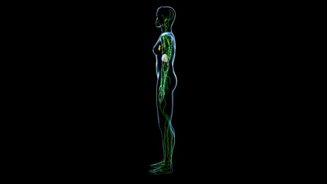female lymphatic system - lymphatic system stock videos & royalty-free footage