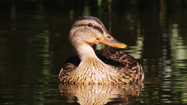 female mallard duck (anas platyrhynchos) on gently flowing river, nottinghamshire, england - duck stock videos and b-roll footage