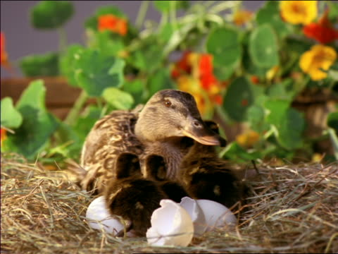 female mallard duck sittting in nest with her three ducklings waddling around + broken eggshells - bird's nest stock videos & royalty-free footage