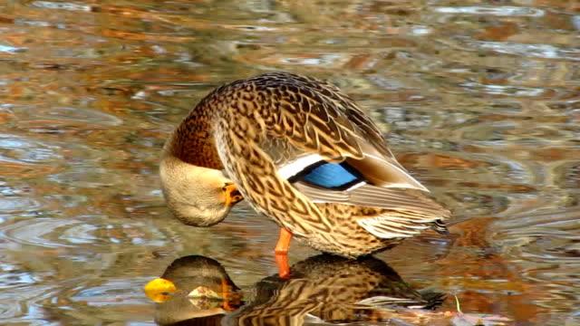 weibliche mallard duck - ente wasservogel stock-videos und b-roll-filmmaterial