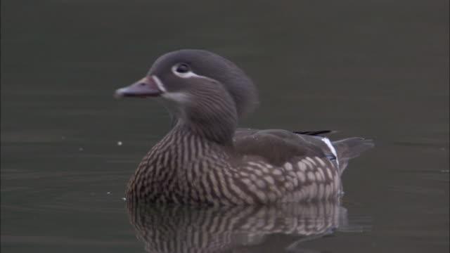 female mandarin duck takes off from pond, uk - 鳥 カモ点の映像素材/bロール