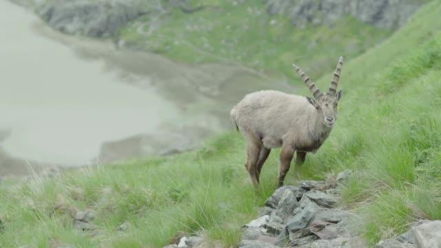 vidéos et rushes de pâturage femelle de chèvre de montagne (ibex)-à l'arrière-plan est un lac de montagne - format hd