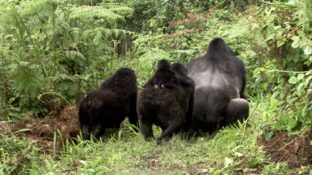 Female mountain gorillas and an infant watch as the male gorilla mates with another female. Available in HD.