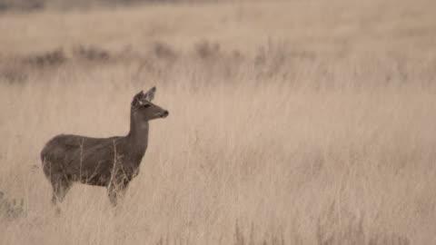 vídeos de stock, filmes e b-roll de female mule deer (odocoileus hemionus) on prairie, montana, usa - corça