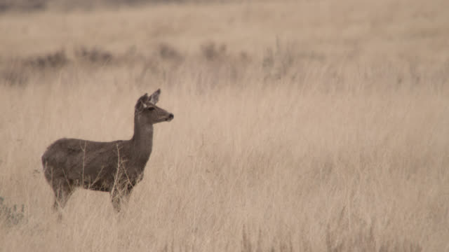 female mule deer (odocoileus hemionus) on prairie, montana, usa - mule stock videos & royalty-free footage