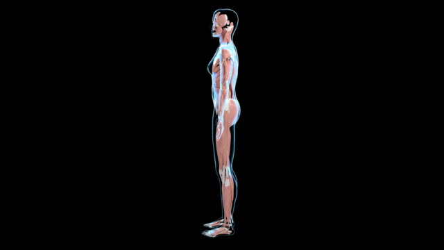 female muscular system - muscle fiber stock videos and b-roll footage