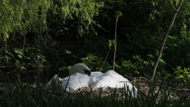 hd video female mute swan incubating eggs on nest - mute swan stock videos & royalty-free footage
