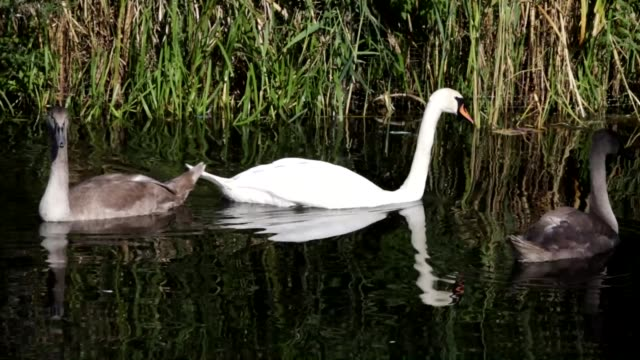 Female mute swan with two cygnets HD video