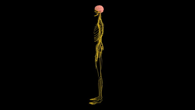 stockvideo's en b-roll-footage met female nervous system - vrouwelijke gestalte