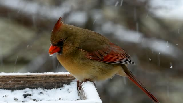 female northern cardinal feeding a in snow fall - 1985 stock videos & royalty-free footage