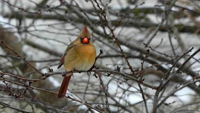 female northern cardinal perched in snow fall - 1985 stock videos & royalty-free footage