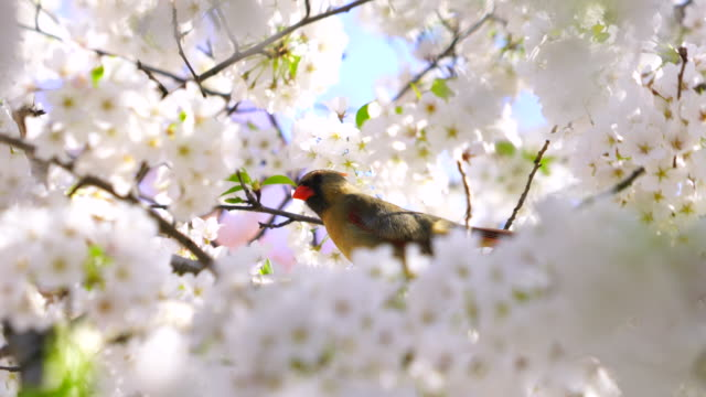 a female northern cardinal perches on the full-bloomed cherry blossoms tree, which are shaking by wind and illuminated by late afternoon sunlight at central park central park new york usa on apr. 23 2018. - springtime stock videos & royalty-free footage