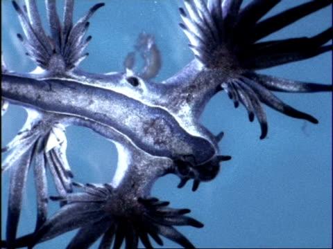 vídeos de stock, filmes e b-roll de female oceanic sea slug (glaucus) cu low angle laying eggs, bermuda - molusco invertebrado