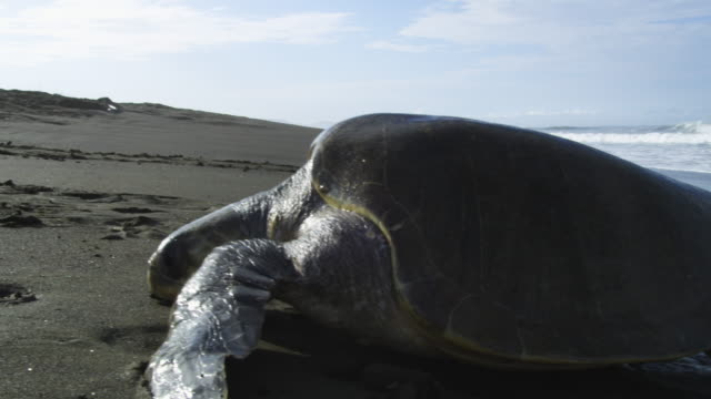 MS female Olive Ridley turtle crawling up beach in profile through frame