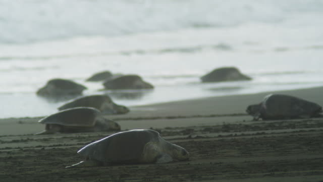 Female Olive Ridley turtle crawling up beach in profile with surf and turtles in background