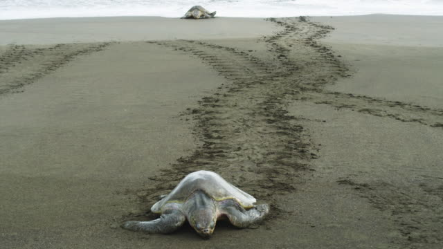 HA TD female Olive Ridley turtle crawling up beach to camera with tracks in background