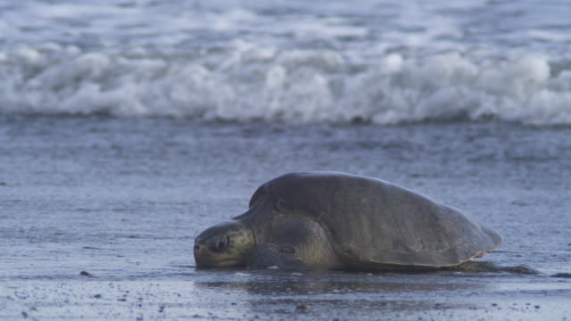 MS female Olive Ridley turtle in surf with waves breaking around her