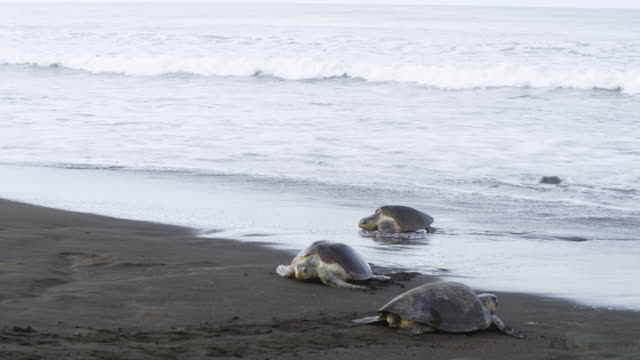 HA 2 female Olive Ridley turtles crawl up beach and one crawls to sea