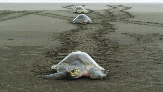 HA 3 female Olive Ridley turtles crawling up beach to camera with tracks in background