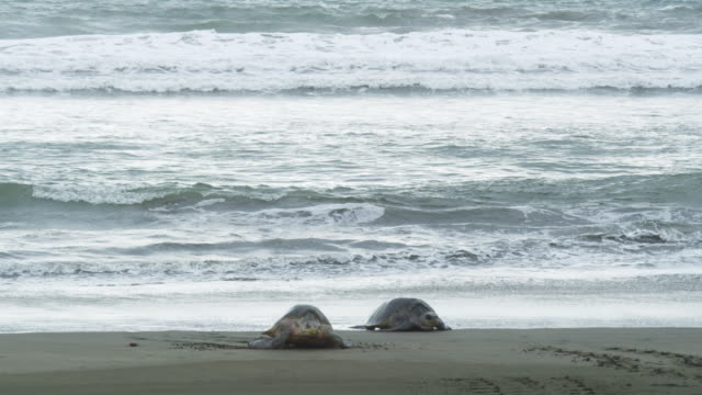 WS 2 female Olive Ridley turtles crawling up beach towards camera with surf in background